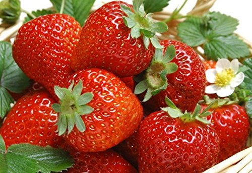 - 10 Eversweet Everbearing Strawberries Plants - (Pack of 10 Bare Roots for $9.95) Organic Grown USA. Zone 4-9.