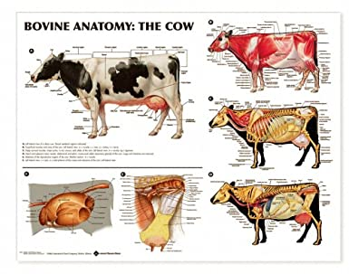 Bovine Anatomy Diagrams - DIY Enthusiasts Wiring Diagrams •