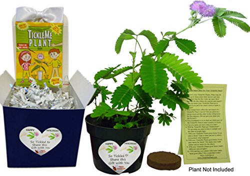 TickleMe Plant Hanukkah Plant Gift Activity- to Grow The...