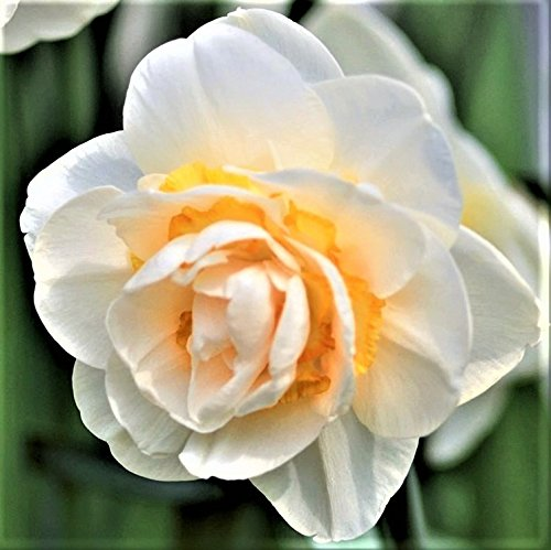 Narcissus Bridal Crown - Fragrant - White and Yellow Daffodil Bulbs - 10 Very Large Bulbs - 15/17 cm | Ships from Easy to Grow TM (Perennials That Bloom From Spring To Fall)