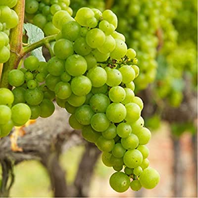 (1 Gallon) Chardonnay Grape Vine Shrub, - White Grapes, Good for White Wine, : Shrub Plants : Garden & Outdoor