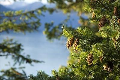 "4 Douglas Fir (Pseudotsuga menziesii) 6-12"" seedlings"