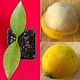 Lemon Drop Mangosteen Garcinia Intermedia Yellow Tropical Fruit Tree Plant