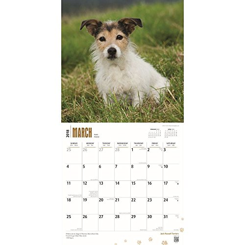 Jack Russell Terriers 2018 Wall Calendar Photo #2