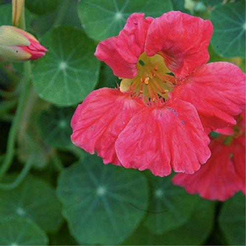 Nasturtium Cherry Rose - 7