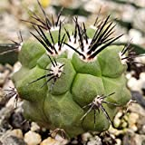 Copiapoa marginata Cactus Cacti Succulent Real Live Plant