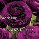 2015 HOT 200PCS Ranunculus asiaticus Flower Seeds For Home & Garden DIY Plants Persian Buttercup Seed Flower Bulbs Free Shipping