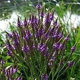 Outsidepride Verbena Blue Vervain - 5000 Seeds