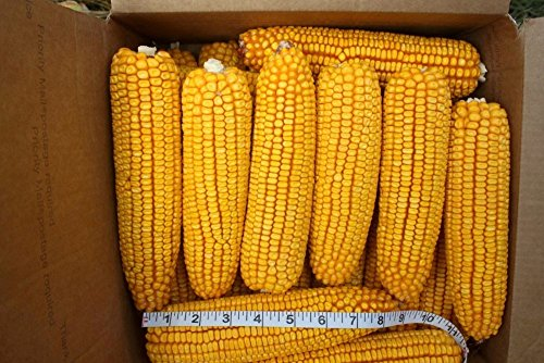 24 ears corn--squirrels animals and crafts 2017 crop--IOWA CORN