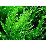 African Water Fern - Bolbitis heudelotii - Live aquarium plant