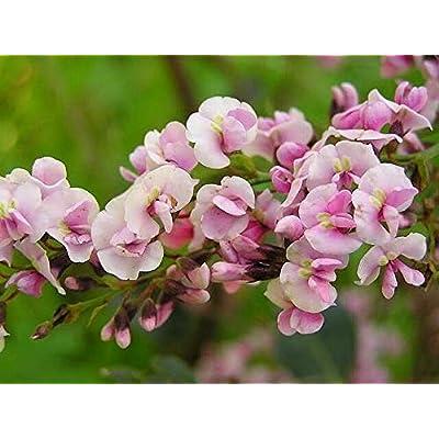 Hardenbergia Violacea Rosea - Happy Wanderer Rare Tropical Plant Vine Seeds (10) : Garden & Outdoor