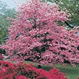 CHEROKEE PRINCESS-PINK DOGWOOD-Cornus florida PINK blooms, red berries (3-Gal)