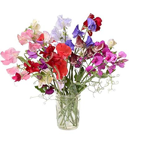 David's Garden Seeds Flower Sweet Pea Royal Mix SL1319 (Multi) 50 Non-GMO, Heirloom Seeds