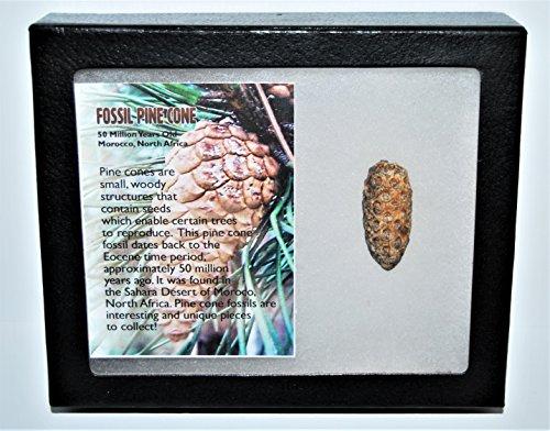 Pine Cone Fossil w/ Display Box LDB 50 Million Yrs Old COA #13285 13o (Fossil Display)