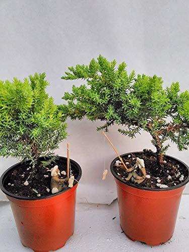 Set of 2 Trees Bonsai Juniper Garden Little Cute Fisherman Home Garden Plant