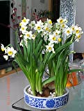 LOSS PROMOTION SALE! Daffodil seeds,Narcissus seeds, Clean air ,Home desktop potted plants - 100 pcs Narcissus tazetta seeds