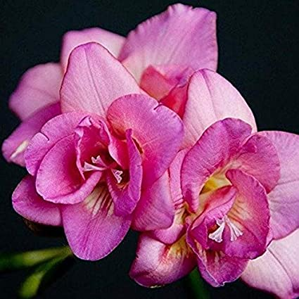 Kriti kalash freesia flower bulbs collection of 14 bulbs pink freesia flower bulbs collection of 14 bulbs pink color mightylinksfo
