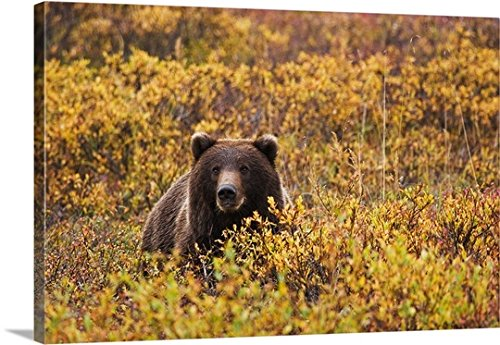 Lynn Wegener Premium Thick-Wrap Canvas Wall Art Print entitled An Adult Brown Bear Amongst The Fall Foliage In Denali National Park, Interior Alaska 48
