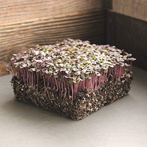 Basil Herb Garden Seeds - Red Rubin - 5 Lb - Non-GMO Herbal Gardening & Microgreens Seeds by Mountain Valley Seed Company (Image #1)