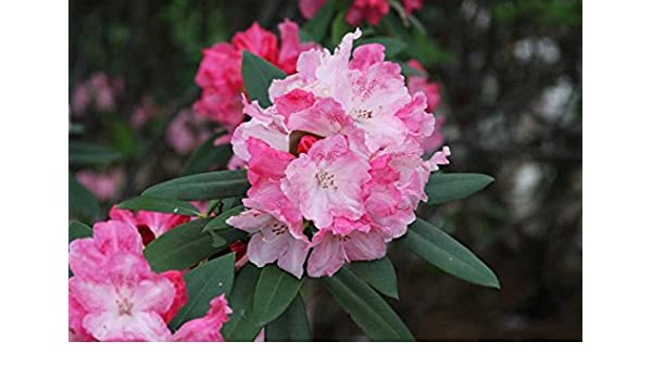 Amazon Com Rhododendron Solidarity 5 Container Size Plant