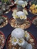 10 Seeds Pelecyphora Pectinifera rare cacti mammillaria
