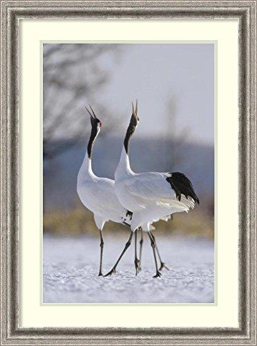 Framed Art Print 'Red-crowned Crane pair calling during courtship, Hokkaido, Japan' by Konrad (Calling Crane)