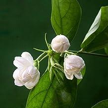 Hot White Jasmine Flower Seeds Fragrant Plant Arabian Jasmine Seeds Bonsai Potted Plants for Home & Garden 20 pcs/bag