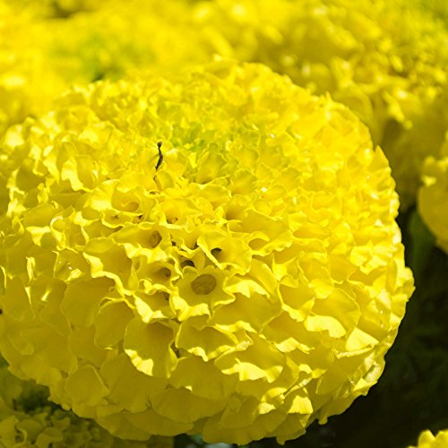 African Marigold Flower Garden Seeds - Lady Series F1 - First (Clear Yellow) - 1000 Seeds - Annual Flower Gardening Seeds - Tagetes erecta by Mountain Valley Seed Company