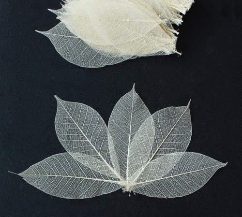 ChangThai Design 100 Skeleton Leaves Rubber Tree Natural color Scrapbooking Craft DIY CARD Wedding