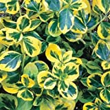 Buy Euonymus alatus Lawn & Patio
