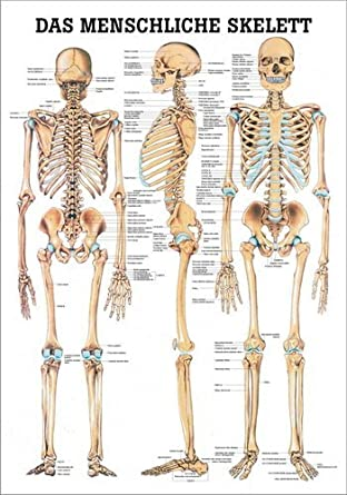 Ruediger Anatomie TA03 Das menschliche Skelett Tafel, 70 cm x 100 cm ...