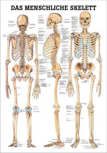 Ruediger Anatomie TA03LAM Das menschliche Skelett Tafel, 70 cm x 100 cm, laminiert