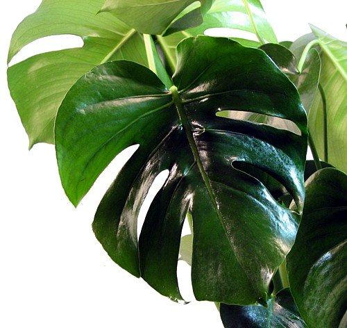 Split Leaf Philodendron 4