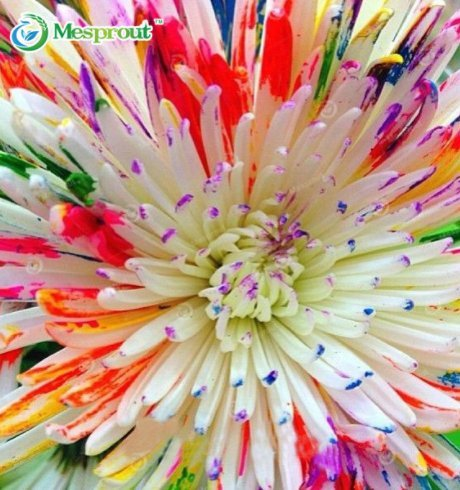 New Rainbow Daisy 100+ Seeds - Rainbow Daisy