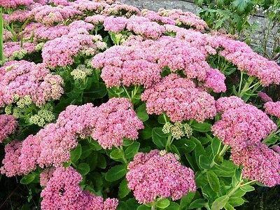 5 Plants Autumn Joy Stonecrop Sedum Nice Pink Rare MHWK42