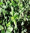 Purple Wintercreeper | Euonymus Coloratus fortunei | Evergreen Ground Cover Plants | 25 Plants