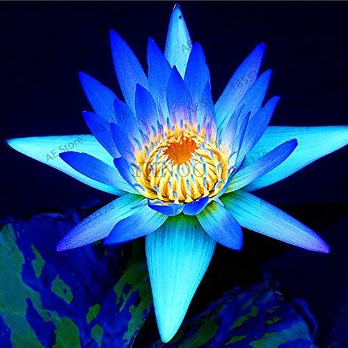 Water Lily Aquatic Plants Water Plants Midnight Blue Lotus Bonsai Plant for Office Tea Table Balcony 10pcs.