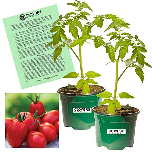 - Clovers Garden Super Sauce Tomato - Two (2) Live Plants - Not Seeds -Each 4