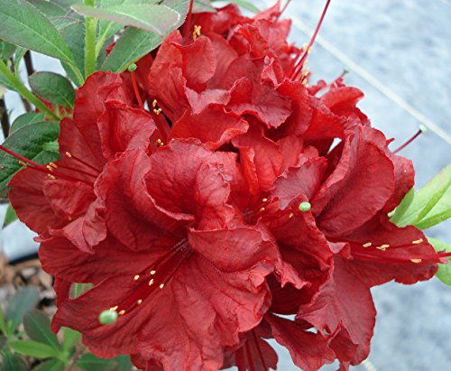 Spectacular Flowering Azalea Arneson Ruby Potted Plant, Great as a Accent Plant, Starter Plant