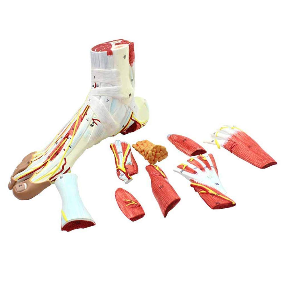 ZLF Foot Anatomy Model Regional Anatomy of The Foot with Neurovascular Ligaments Anatomical Ankle Joint Muscle Vascular Ligament Model for Medical Educational Training