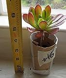 """Aeonium Arboreum """"VELOUR"""" Succulent mature- healthy plant with roots # 16"""