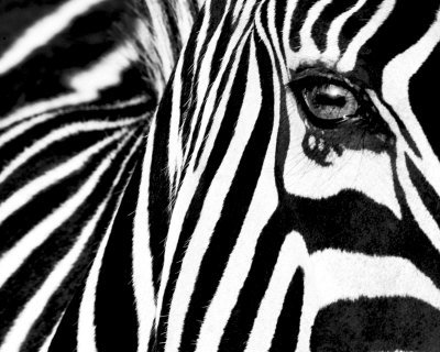 Black   White Ii  Zebra  Art Poster Print By Rocco Sette  20X16