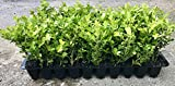 Japanese Boxwood Qty 60 Live Plants Buxus Fast Growing Cold Hardy Evergreen For Sale