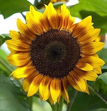 Procut Bicolor girasol híbrido F1 25 semillas