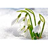 Galanthus bulbs Snowdrop Bulbs Galanthus White Snowdrop Flower Corms Snowdrops Bulbs Garden in Turkey