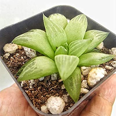 AchmadAnam - Live Plant - Haworthia Cooperi in Two inch Pot. E6 : Garden & Outdoor