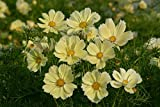 Plantree Cosmos Seeds - Xanthos - Award Winning Annual - Container Favorite - 25 Seeds