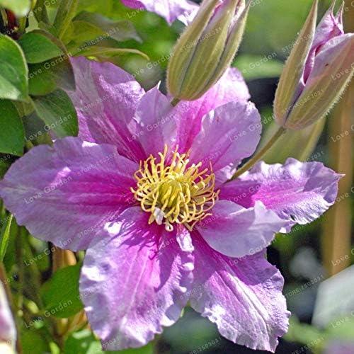 24 colores Clematis Bonsai Real Raras Clematis Planta Exterior Planta Crecimiento Natural Bonsai Home Garden 100 Pcs 3 Bloom Green Co