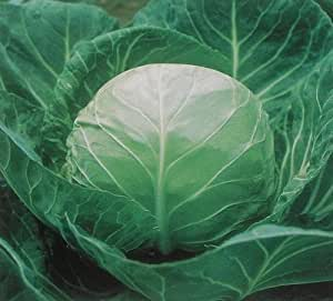 SD0423 Green Beijing Cabbage Vegetable Seeds, Guaranteed Live Vegetable Seeds, 60-Days Money Back Guarantee (52 Seeds)