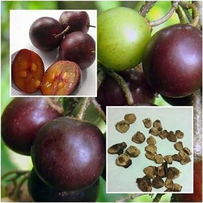 Flacourtia Indica 20 Seeds, Fruit Seed, Rare & Unique, Governor's Plum from Thai : Garden & Outdoor